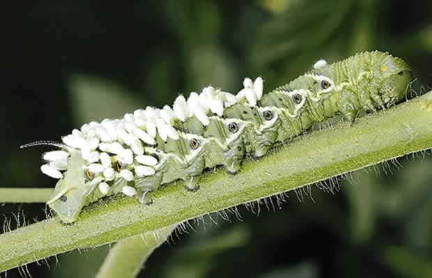 parasitism of the tomato hornworm
