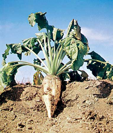 http://www.cals.ncsu.edu/course/pp728/Aphanomycescochlioides/sugarbeet.jpg