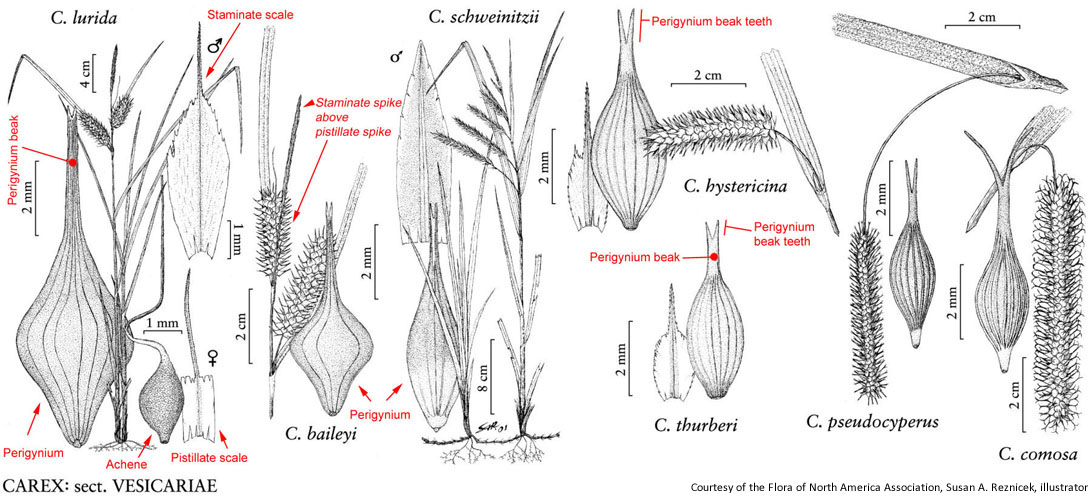 Rare plants of nc carex staminate flowers borne above the pistillate in the same spike4 ccuart Choice Image