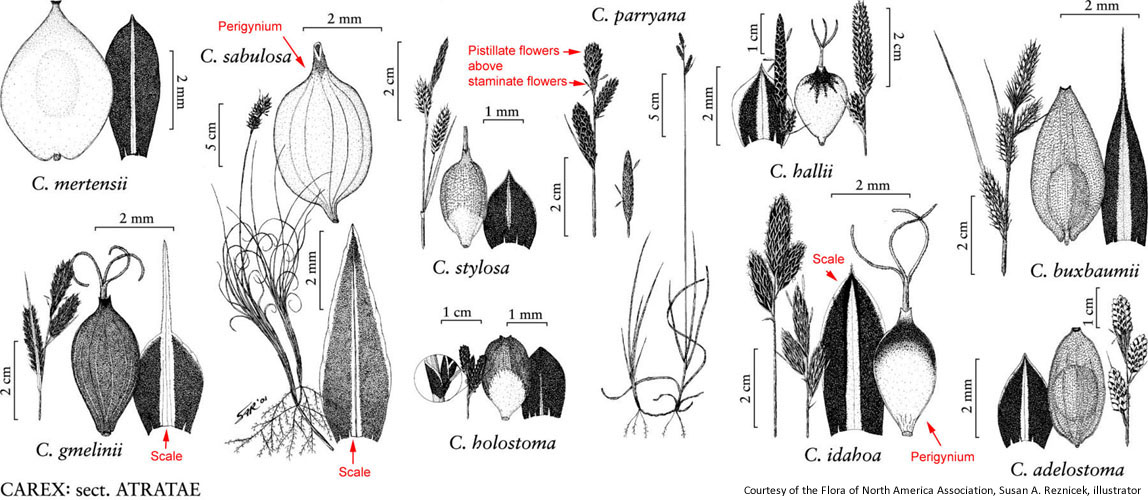 Rare plants of nc carex pistillate flowers borne above the staminate in the same spikevarious spp ccuart Choice Image