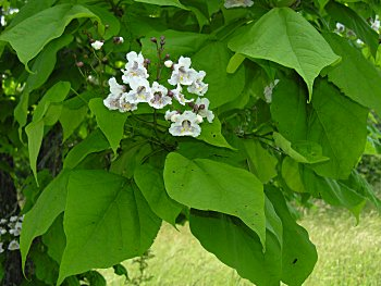 Flowering trees ontario white flowers healthy leaves and flowers of catalpa speciosa mightylinksfo