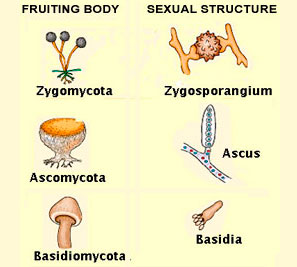 Basidiomycota asexual reproduction in fungi