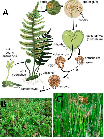 Vascular Plants Of The Gila Wilderness Sorghastrum Nutans: Lower (non-seed) Vascular Plants