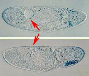 Single-celled eukaryotes  protists Contractile Vacuole In A Cell