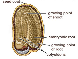 The Food For Dicot Embryos Is Stored In The