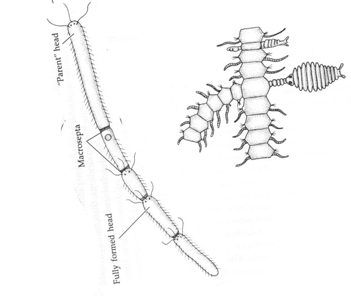 Polychaete asexual reproduction plants