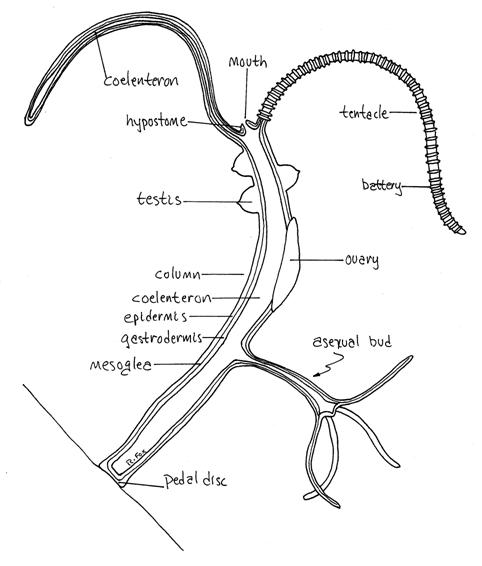 Hydra anatomy diagram