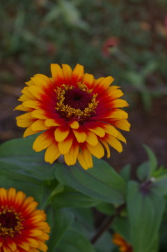 Zinnia Flower on Zinnia  Zowie Yellow Flame